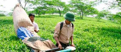recolectores de té vietnamita