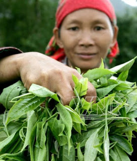 té perfumado vietnamita