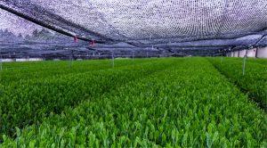 plantacion tipos de te verde japones